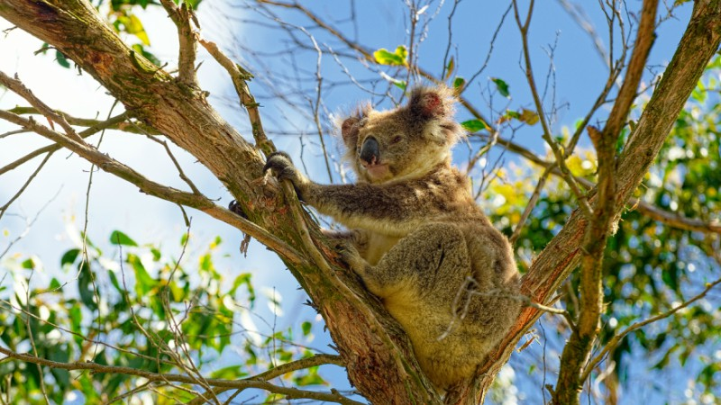 Koala in a gum tree near Kennett River, Victoria