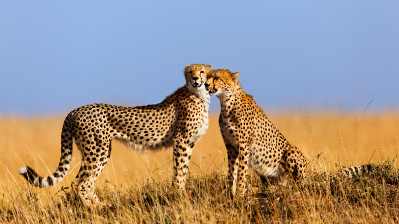 Cheetahs in the Maasai Mara National Reserve, Kenya