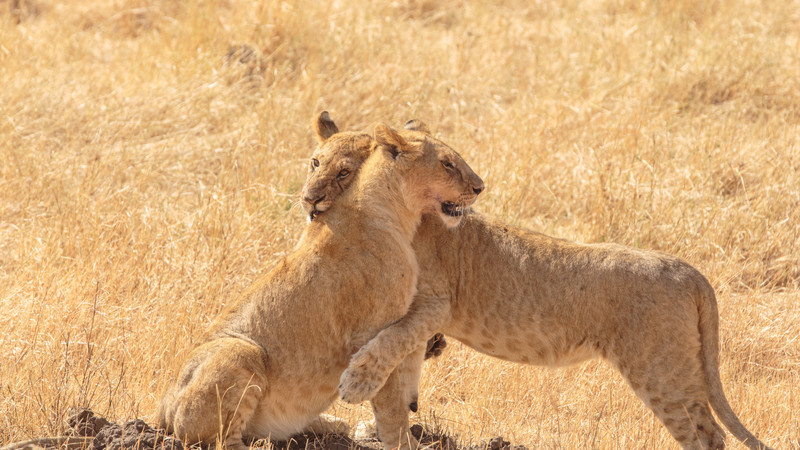 Two lions in Kenya
