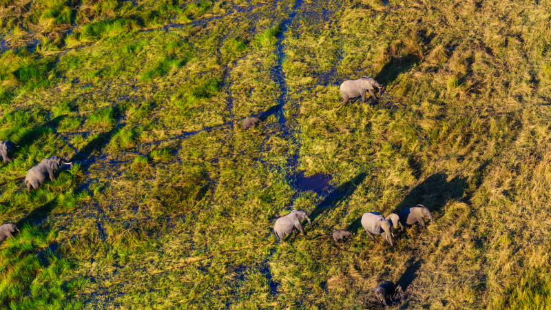 Elephants roaming the Okavango Delta, Botswana