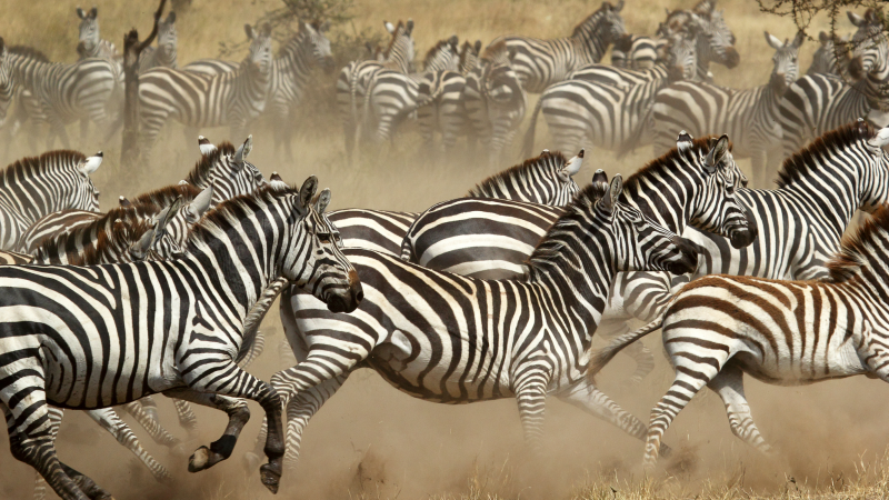 Herd of zebra in Serengeti National Park, Tanzania