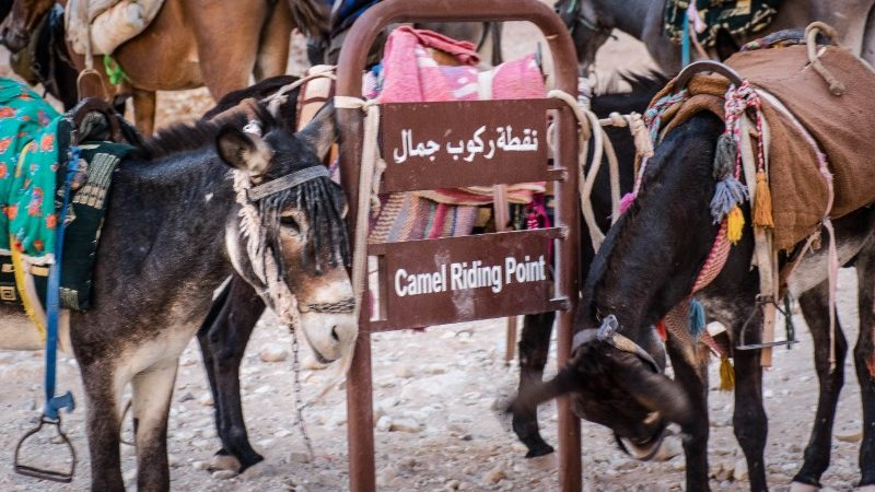 Donkeys standing near a camel-riding sign