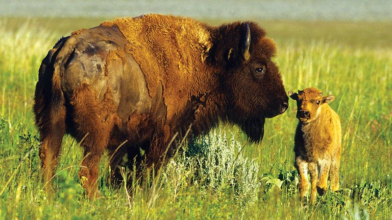 Two bisons.