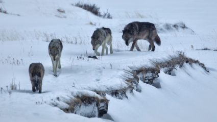 What to expect on a wolf tracking excursion in Yellowstone National Park