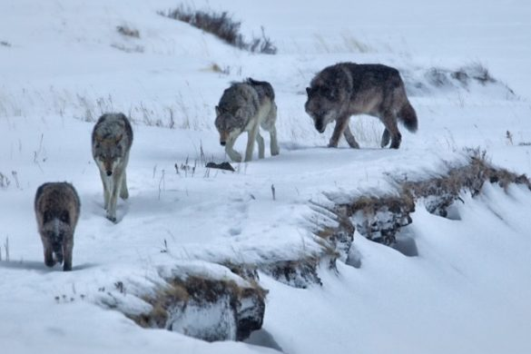 A pack of wolves walking through the snow