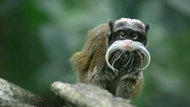 Tamarin with moustache