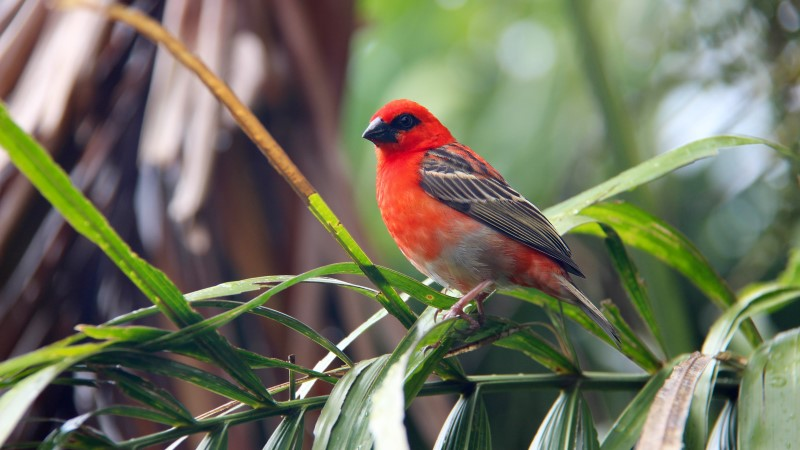 A red fody in the Seychelles