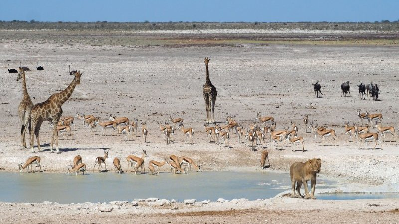Giraffes, wildebeest, impalas and a lion in Namibia