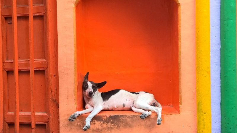 A dog lies against a colourful wall
