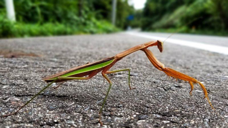 A praying mantis in Japan