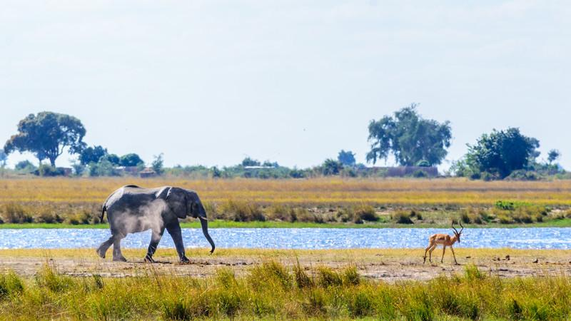 An elephant and a gazelle in Chobe, Botswana