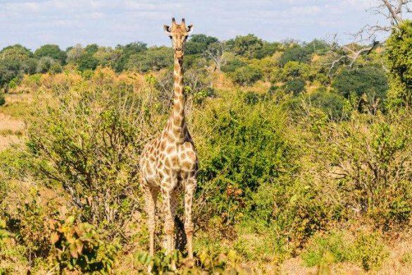A giraffe in Botswana