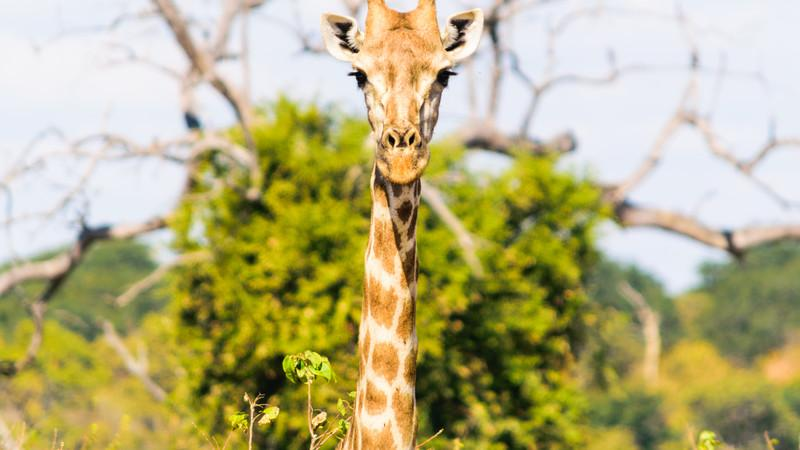 A giraffe in Botswana looking at the camera