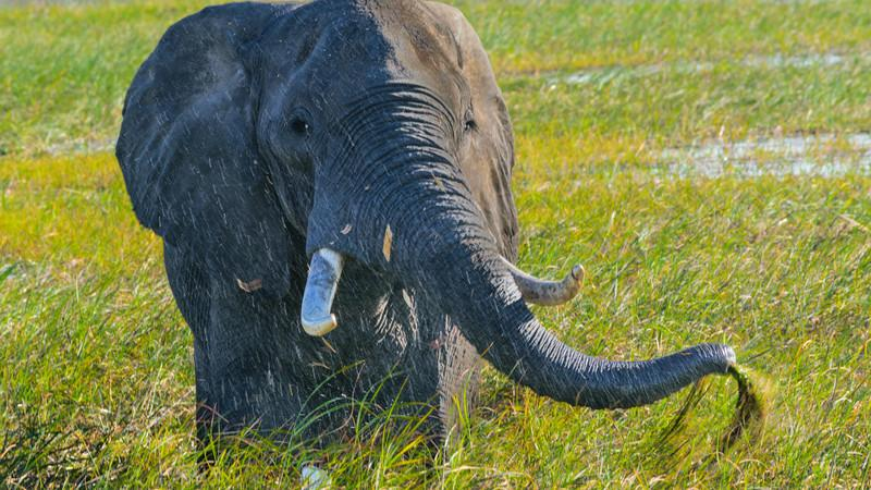 An elephant eating grass.