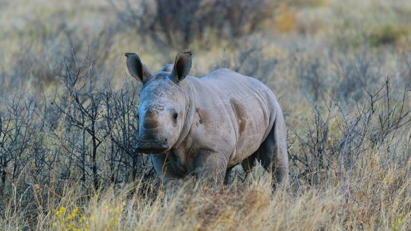 A rhinoceros in the scrub