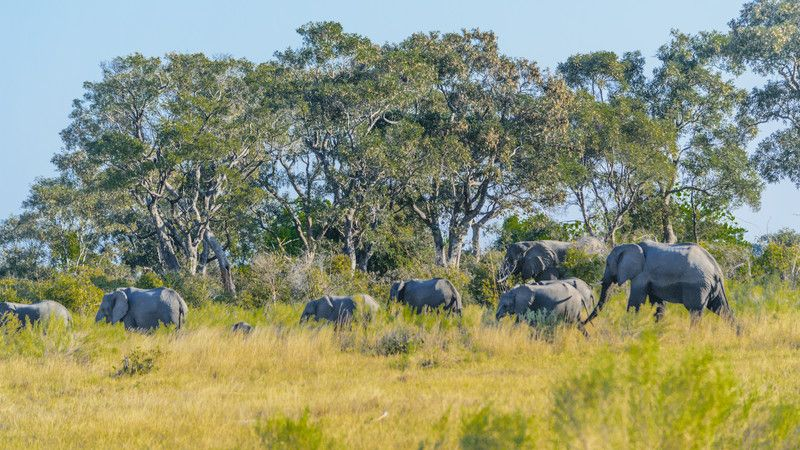 Elephants in the grass in Botswana