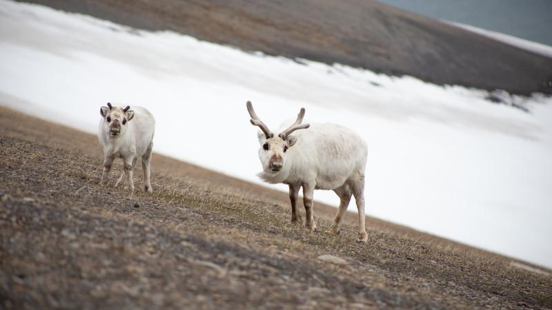 Arctic reindeer in Svalbard