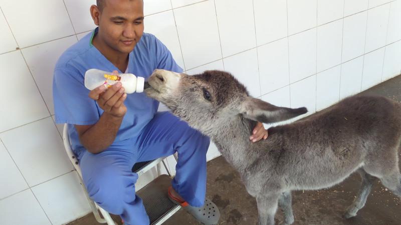 A man feeding a baby donkey