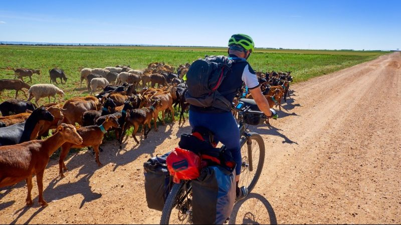 A flock of goats alongside a cyclist on the Camino trail in Spain