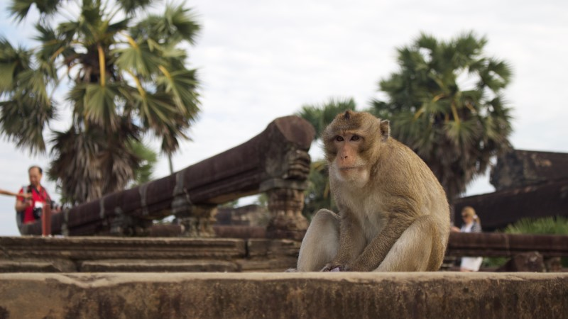 A macaque hangs around the temples at Angkor, Cambodia