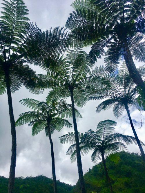 Towering tree ferns