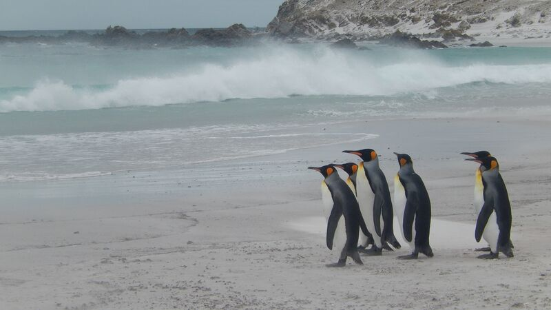 Penguins on a beach in the Falkland Islands