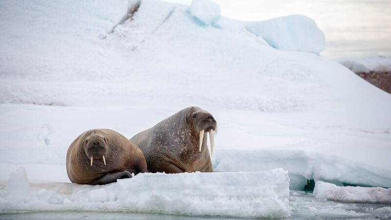 A pair of walrus on the ice