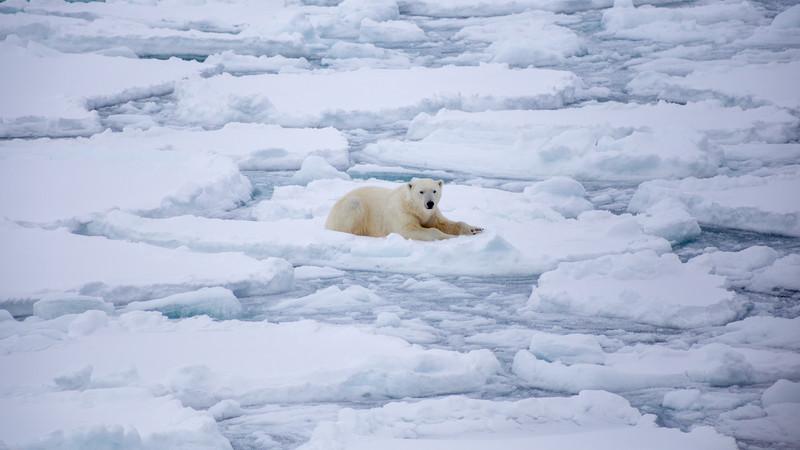 A polar bear takes a break on the icefloe