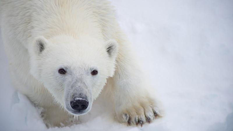 A polar bear stares through the camera's lens