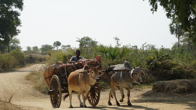 Two oxen pulling a cart laden with goods