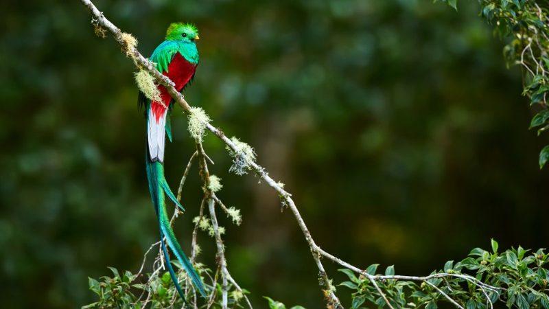 A beautiful green quetzal bird in Guatemala