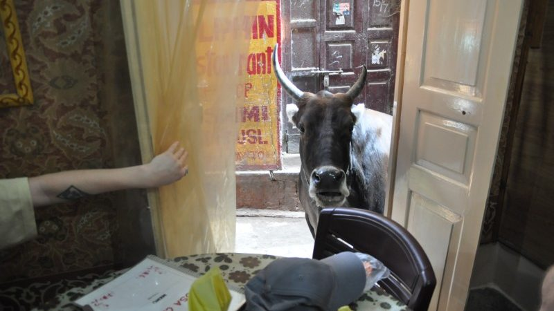 A cow standing in the window of a restaurant