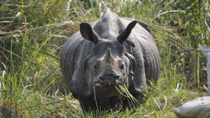 A rhino in Chitwan National Park