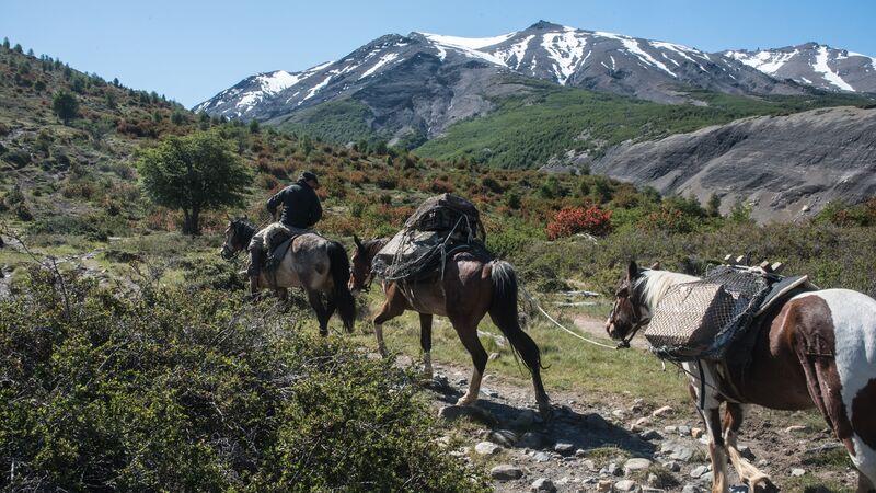 Three horses walk along a bush trail