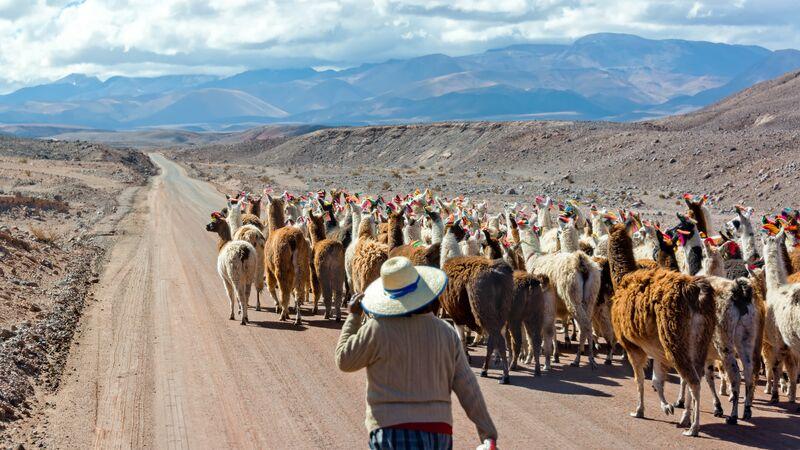 A farmer herding llamas in San Pedro de Atacama