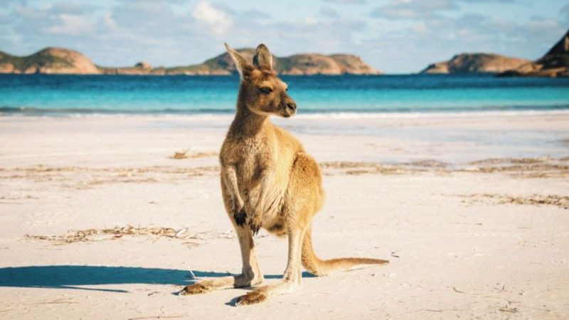 Kangaroo on the beach at Cape le Grand