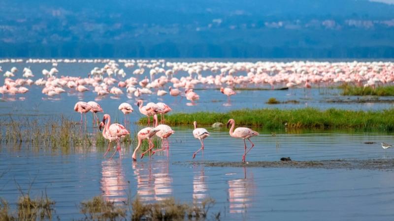 flamingos in lake nakuru on a Kenya safari