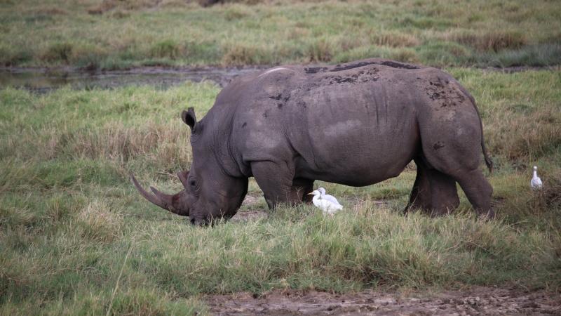 a rhino in the grass of lake nakuru national park on a Kenya safari