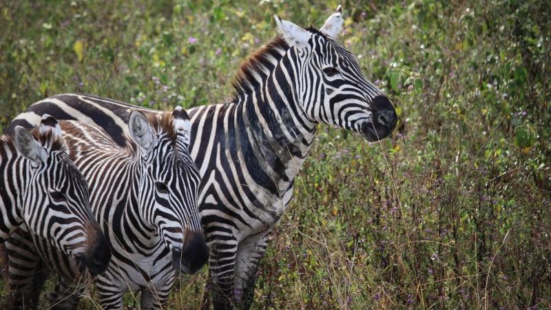 three zebras in lake nakuru national park on a Kenya safari