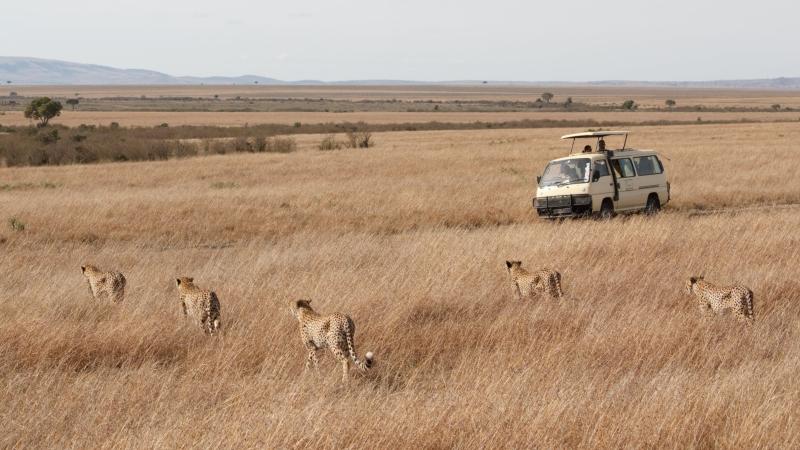 fives cheetahs walking through long grass on a Kenya safari