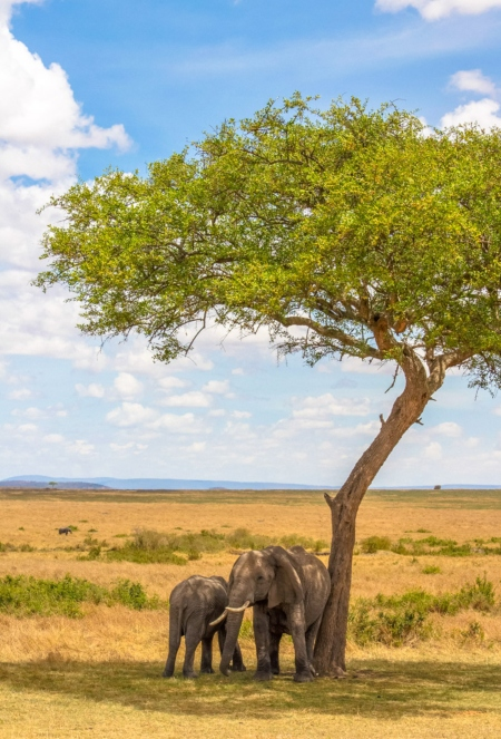 two elephants scratching against a tree on a Kenya safari