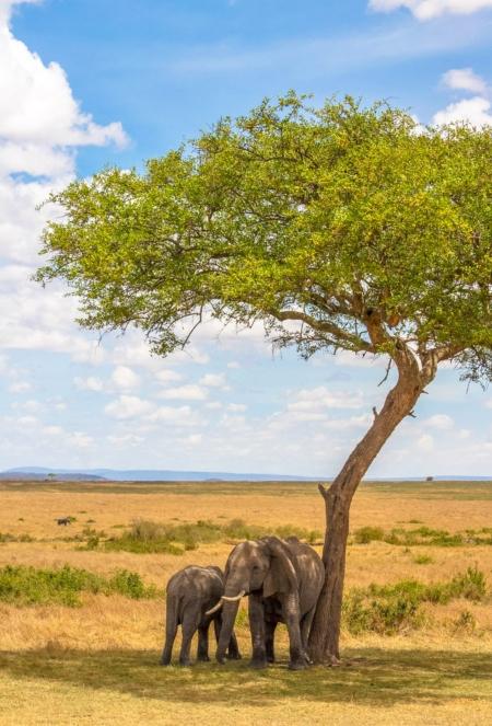 two elephants scratching against a tree on a Kenya safari