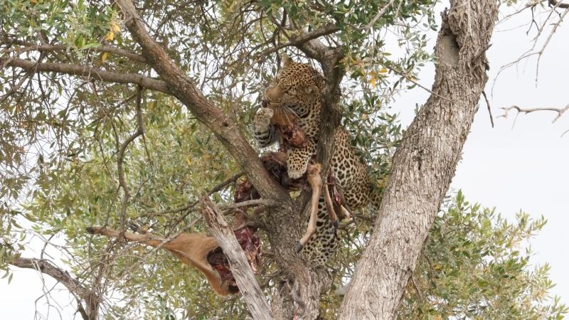 a leopard eating a freshly caught gazelle in a tree on a Kenya safari