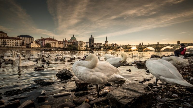 A flock of geese in Prague