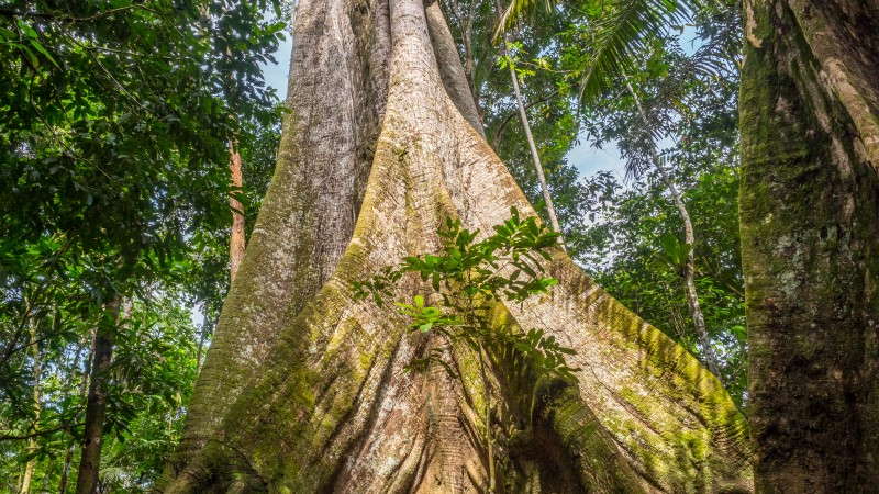 A kapok tree, the biggest in the Amazon