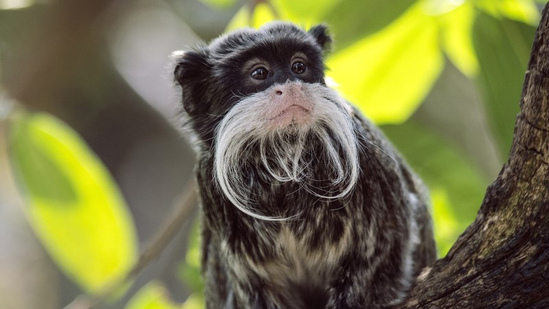 Tucked in a tree in the Amazon sits an emperor tamarin