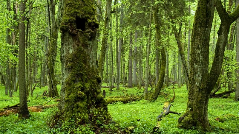 Białowieża Forest, the last and largest section of primeval forest in Europe