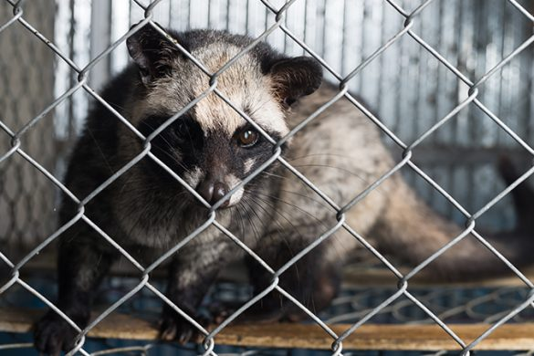 An Asian palm civet in a cage .