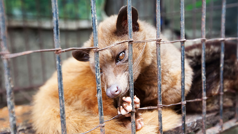 Luwak in a cage.