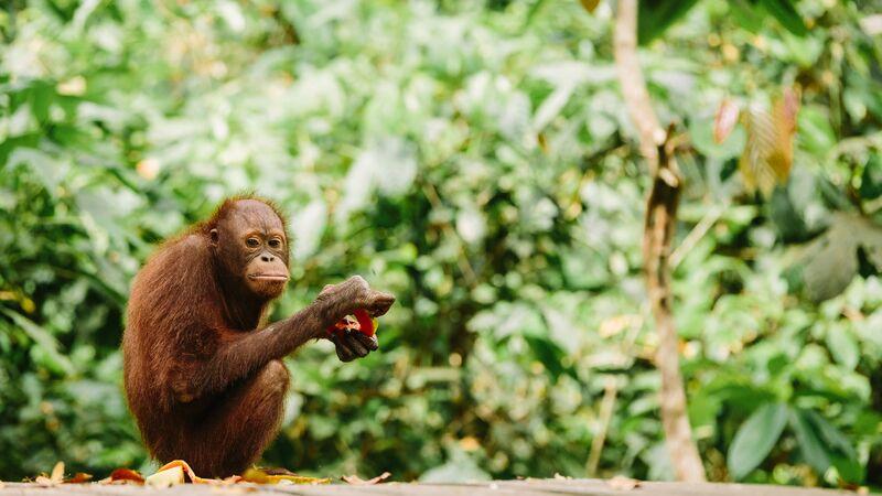 An orangutan in a sanctuary